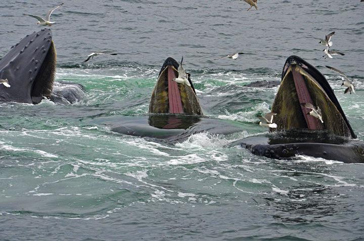 humpback20feeding720